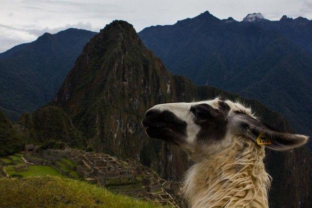 una alpaca en machu picchu