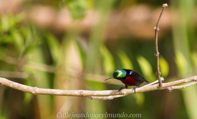 colibrí perhentian besar malasia (2)