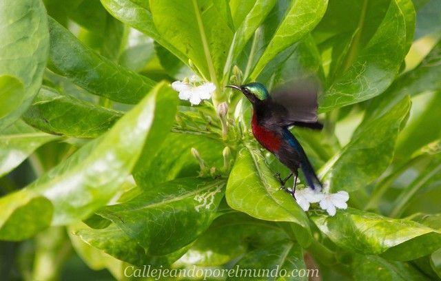 colibrí perhentian kecil malasia