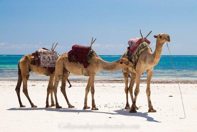 camellos diani beach mombasa kenia