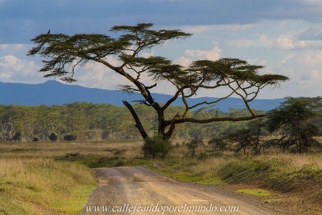 acacia lago nakuru kenia