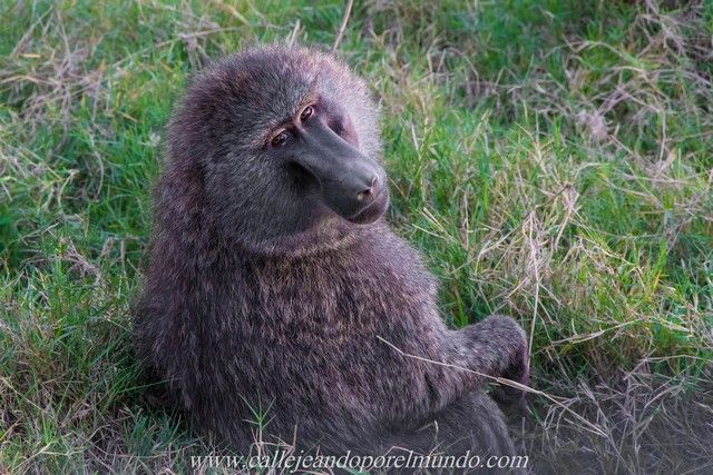 babuino lago nakuru kenia (2)