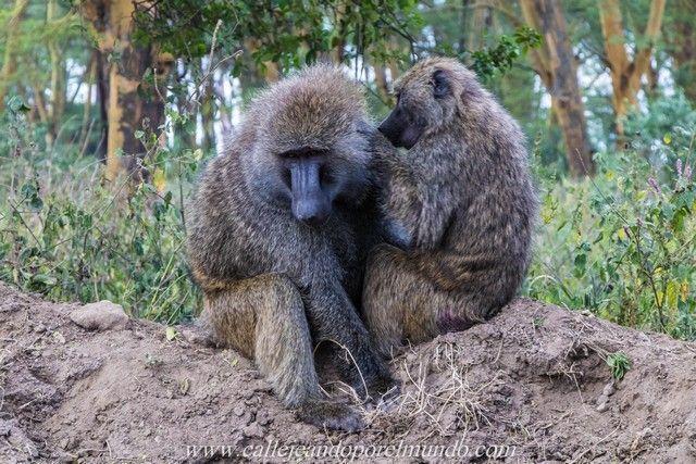 babuino lago nakuru kenia