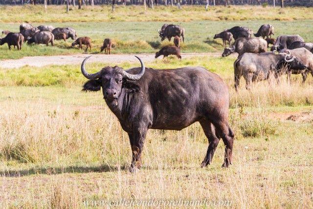 bufalos lago nakuru kenia (3)