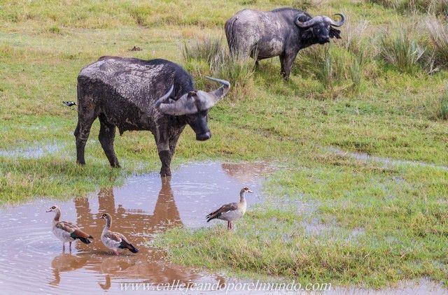 bufalos lago nakuru kenia (4)