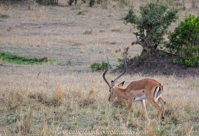impala masai mara