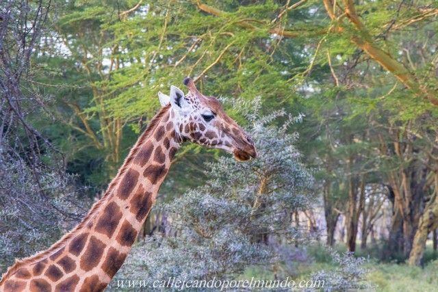 jirafa rothschild lago nakuru kenia (4)