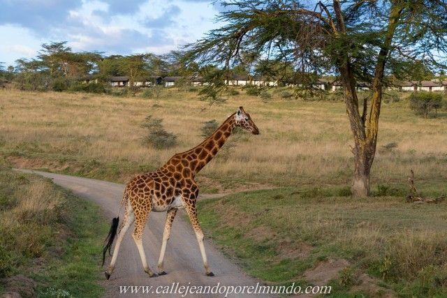 jirafa rothschild lago nakuru kenia (5)