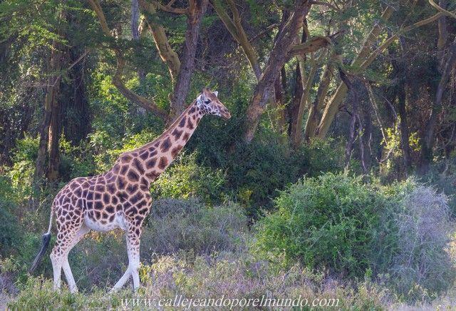jirafa rothschild lago nakuru kenia