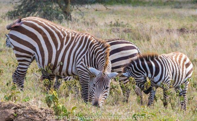 kenia lago nakuru cebras