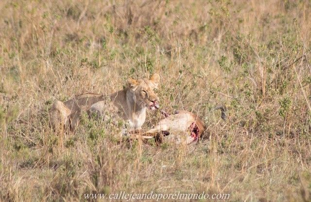 leona comiendo masai mara kenia (2)