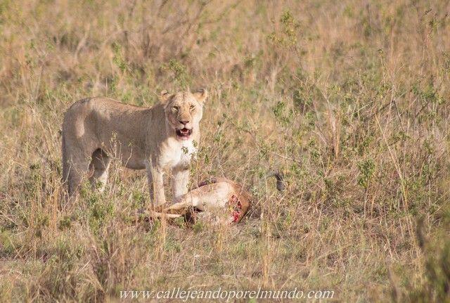 leona comiendo masai mara kenia (3)