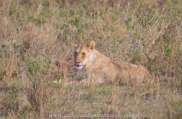 leona comiendo masai mara kenia (5)