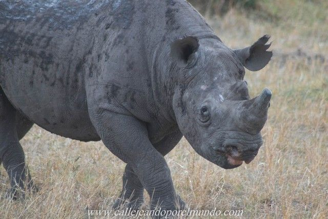 rinoceronte masai mara kenia (1)
