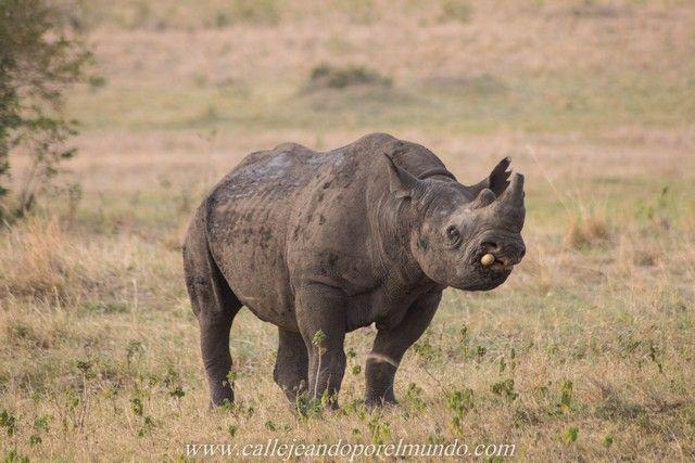 rinoceronte masai mara kenia (5)