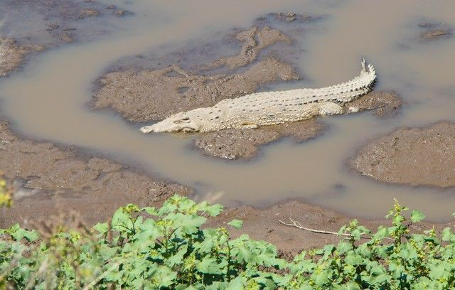 cocodrilo del nilo masai mara kenia