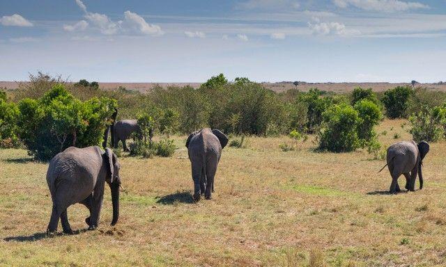 elefantes masai mara (1)