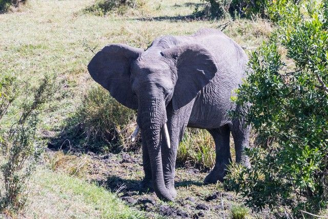 elefantes masai mara (2)
