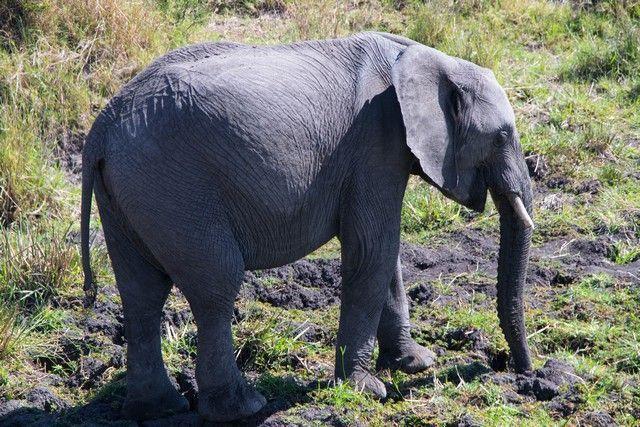 elefantes masai mara (3)