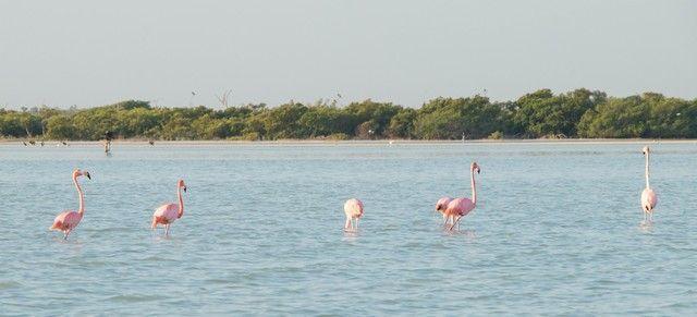 flamencos rosas rio lagartos (2)