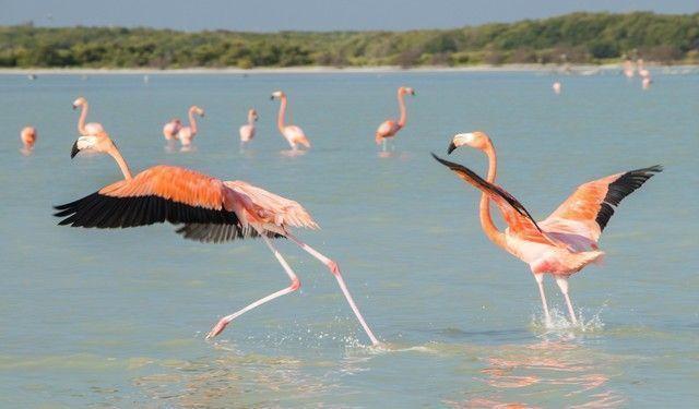 flamencos rosas rio lagartos yucatan (6)