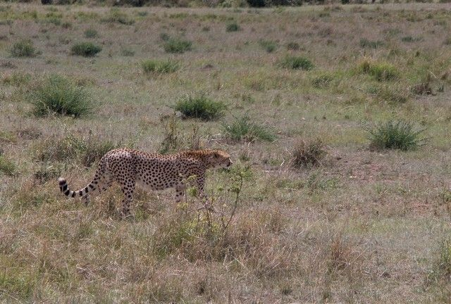 guepardo masai mara kenia (1)