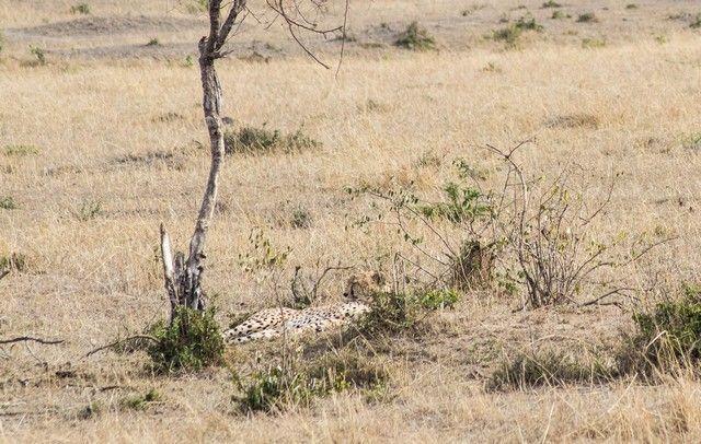 guepardo masai mara kenia