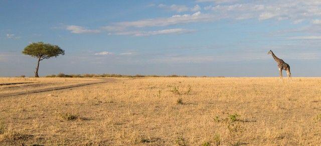 jirafa masai mara kenia (2)