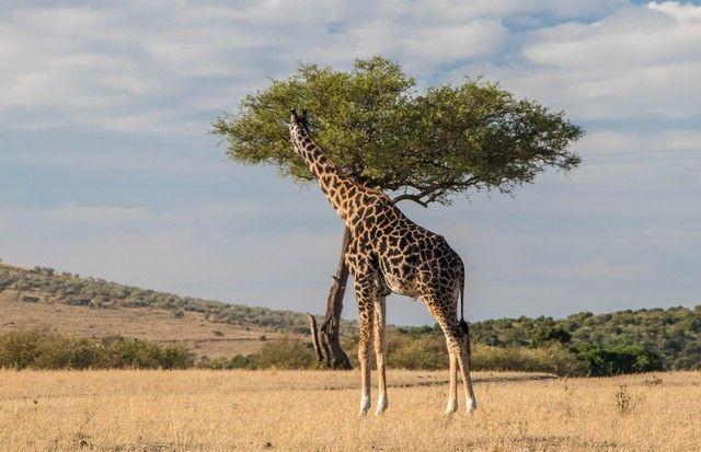 jirafa masai mara kenia (3)