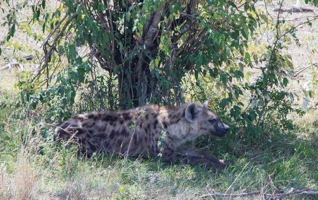 la hiena de masai mara