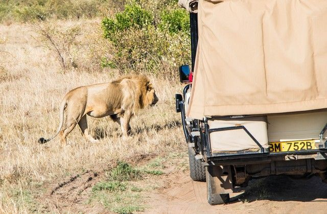 leon masai mara kenia (2)