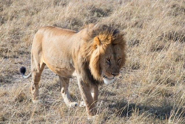 leon masai mara kenia (4)