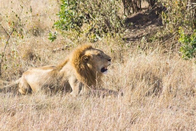 leon masai mara kenia (6)