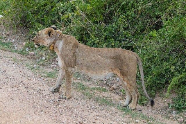 leona en amboseli kenia (1)