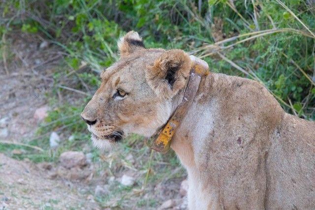 leona en amboseli kenia (2)