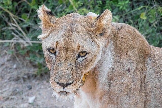 leona en amboseli kenia (3)