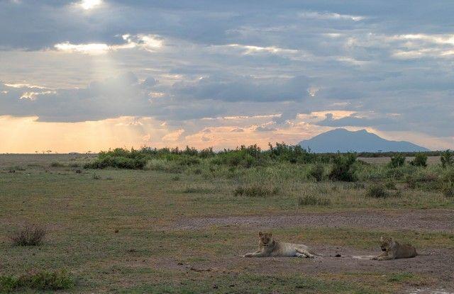 leona en amboseli kenia (5)