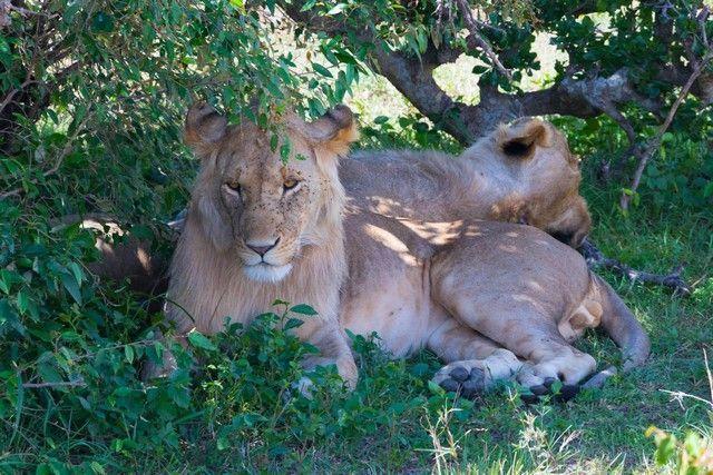 leones masai mara kenia banquete (1)