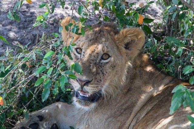 leones masai mara kenia banquete (2)