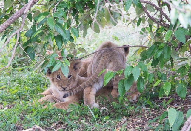 masai mara el rey leon (1)