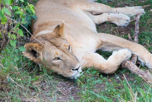 masai mara el rey leon (2)