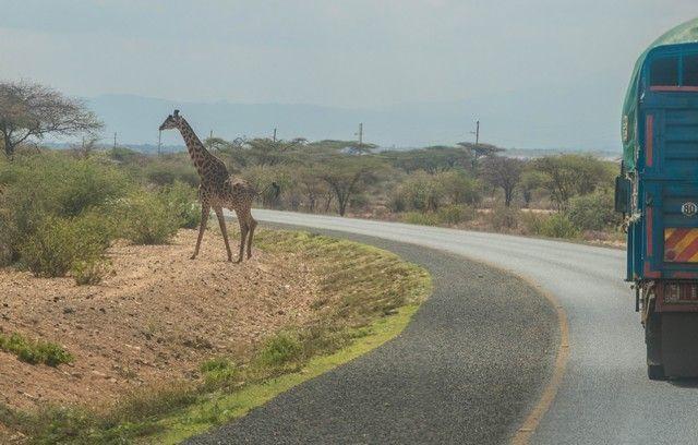 jirafa entrando en tanzania (1)