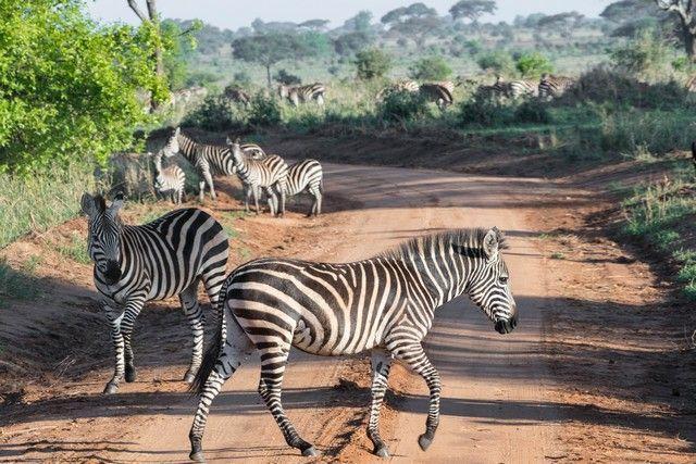 tarangire national park safari de mañana tanzania (1)