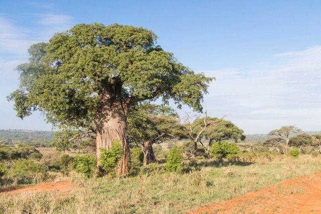 tarangire national park safari de mañana tanzania (3)