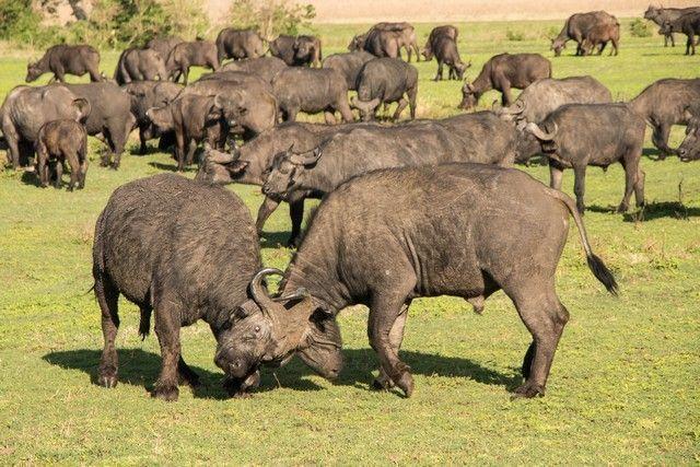 ngorongoro area de conservacion tanzania (3)