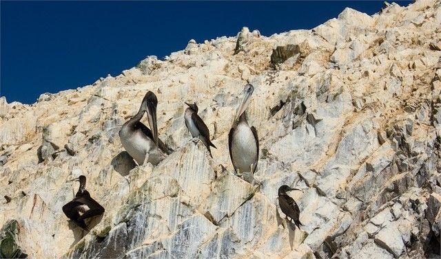 cormoran isla ballestas peru