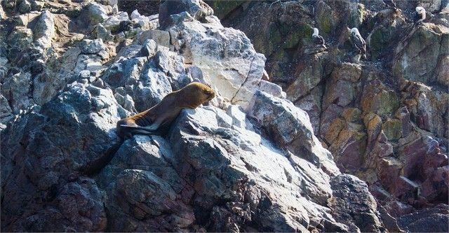 leon marino isla ballestas paracas peru