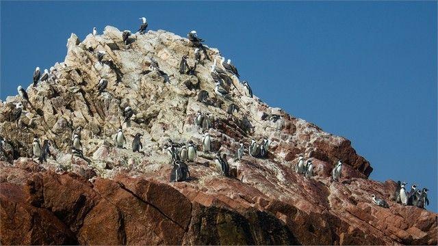 pingüino Humboldt isla ballestas peru