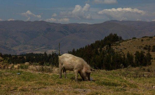 cerdo en cuzco peru