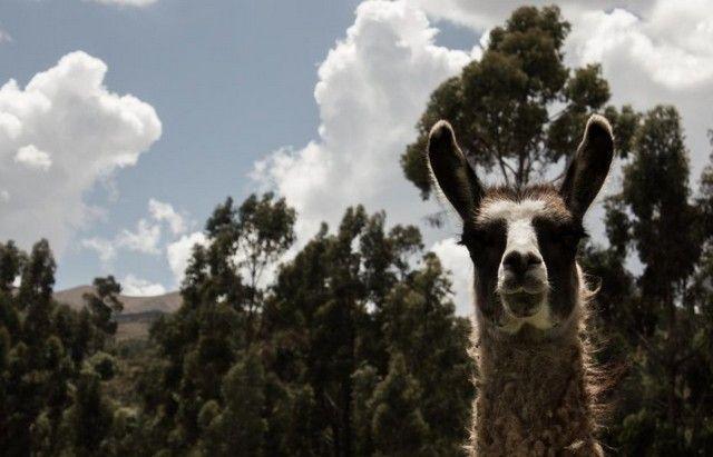 llama cuzco peru